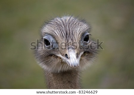 Funny ostrich - stock photo