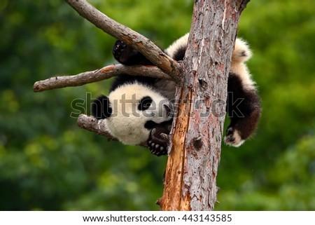 funny Panda Bear.  comical young Panda Bear on the tree. Lying cute young Giant Panda feeding feeding bark of tree. Sichuan Giant Panda from China, Asia. Rare animal in the nature forest habitat. - stock photo