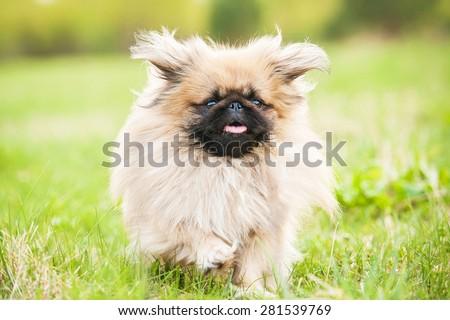 Funny pekingese dog running in summer - stock photo