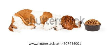Funny photo of a Basset Hound Dog laying with head down on the floor looking at a heaping bowl of dry kibble food that he does not like - stock photo