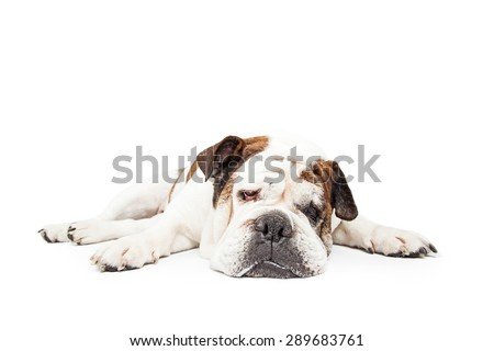 Funny photo of a Bulldog breed dog laying down flat with legs spread out wide