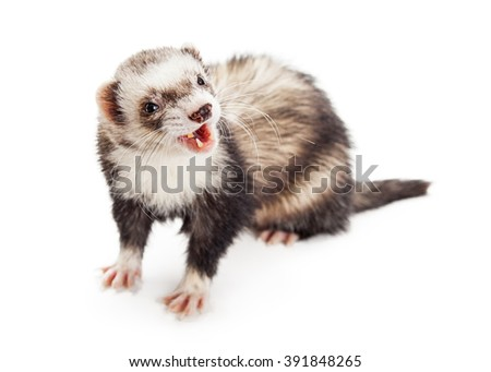 Funny photo of ferret with mouth open looking to the side. Isolated on white - stock photo