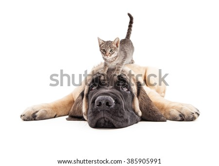 Funny photo of patient a Mastiff puppy laying down with a little kitten on his head - stock photo