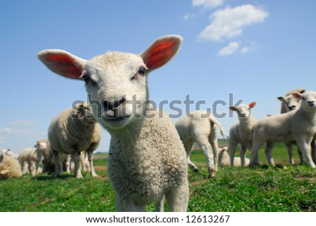 funny picture of a curious lamb in spring - stock photo