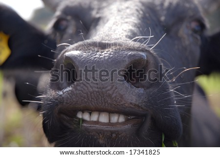 funny picture of almost smiling cow with white teeth