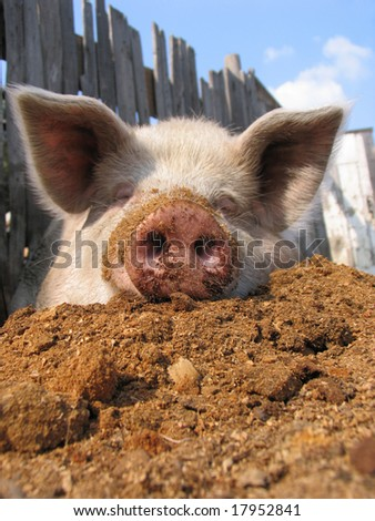 Funny pig on sawdust - stock photo