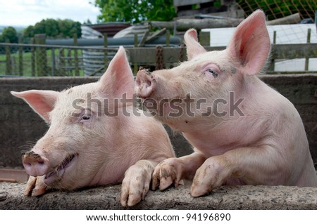 Funny pigs up on wall in pig sty looking like they are talking or sharing a joke - stock photo