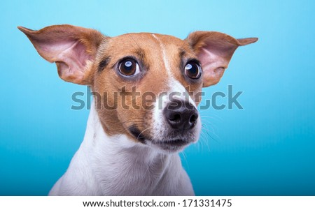Funny playful dog on a blue background - stock photo