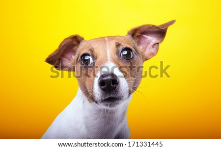 Funny playful dog on a yellow background - stock photo