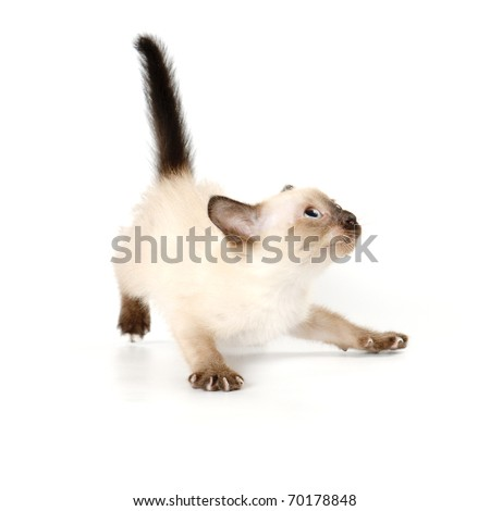 Funny playful siamese kitten on white background - stock photo