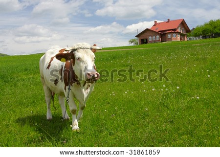 Funny portrait of a cow - stock photo