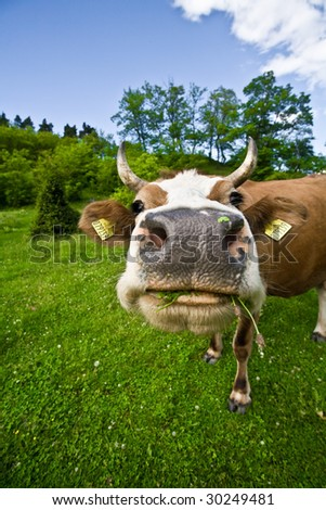 funny portrait of a cow grazing - stock photo