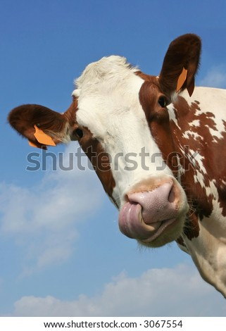 Funny portrait of a cow, watch the tongue touching the nostril - stock photo