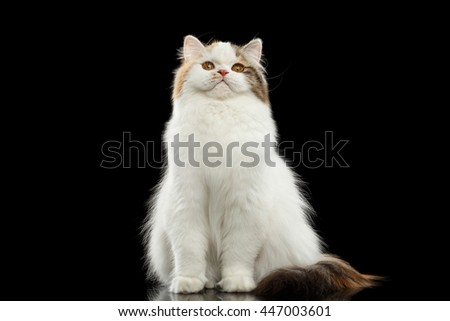 Funny Portrait of Angry Scottish Highland Straight Cat, White with Red Color of Fur, Sitting and Curious Looks, Isolated Black Background, Front view, Grumpy Face - stock photo