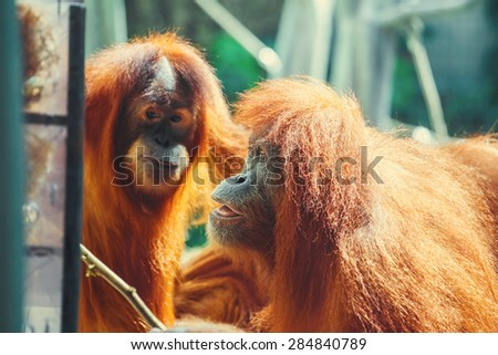 Funny portrait of ape (orangutan)  having found a solution to get food. Intelligence concept.  - stock photo