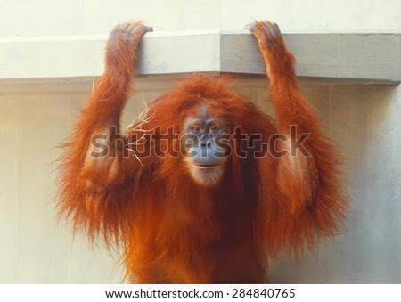 Funny portrait of ape (orangutan) looking with funny expression.