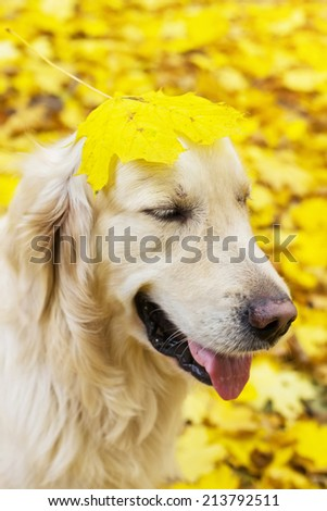Funny portrait of golden labrador retriever with yellow leaf on its head in autumn park  - stock photo