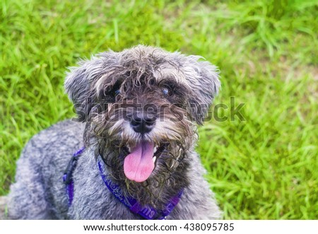 Funny portrait of playing Miniature Schnauzer