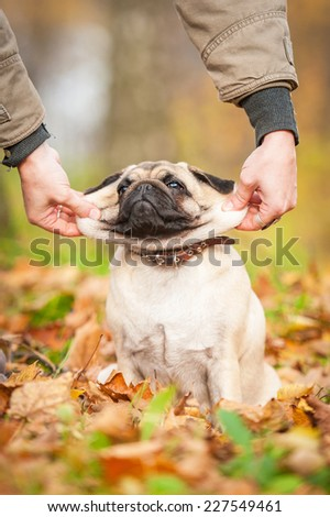 Funny pug dog in autumn