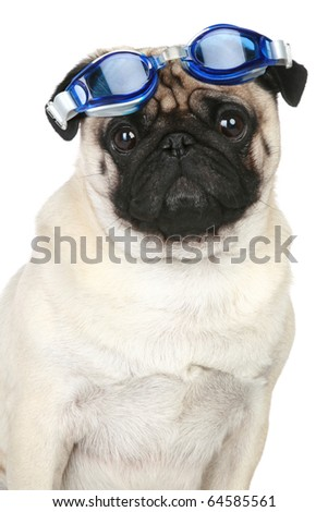 Funny pug dog in glasses for a scuba diving on white background