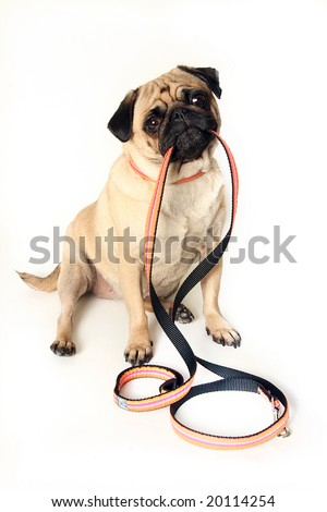Funny Pug holding a leash in her mouth.  Isolated on white. - stock photo