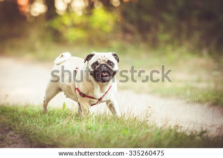Funny pug on the walk - stock photo