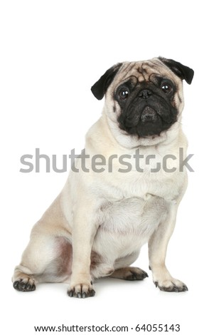 Funny pug puppy on a white background