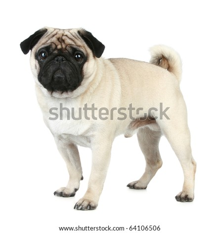 Funny pug puppy on a white background - stock photo
