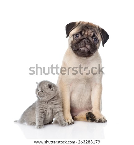 Funny pug puppy sitting with tiny scottish cat together. isolated on white background - stock photo