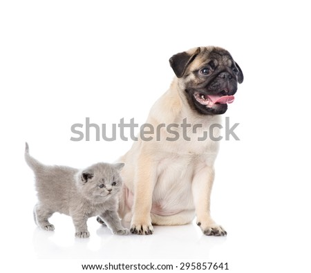 Funny pug puppy sitting with tiny scottish cat together. isolated on white background