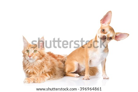 Funny puppy and maine coon cat together. isolated on white background