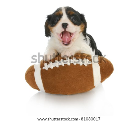 funny puppy- cavalier king charles spaniel with silly expression on stuffed football - stock photo