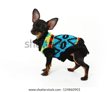 Funny puppy Chihuahua dressed in sweater poses - stock photo