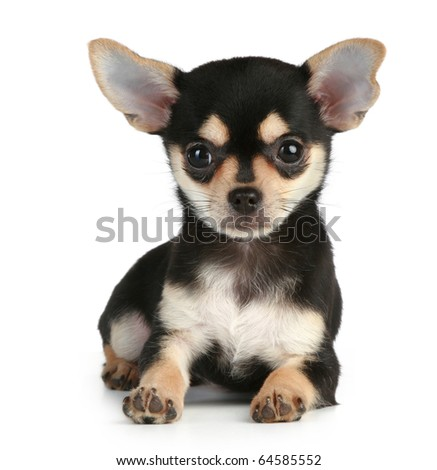 Funny puppy chihuahua lying on a white background - stock photo
