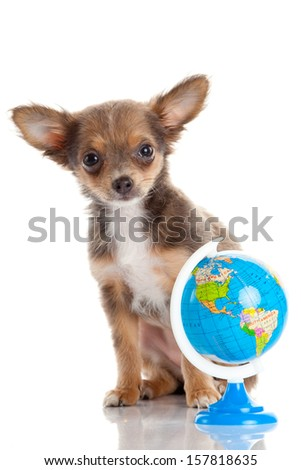 Funny puppy Chihuahua. puppy with a  globe isolated - stock photo