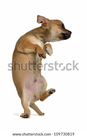 Funny puppy jumping isolated - stock photo
