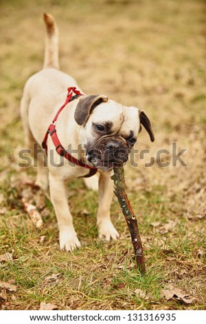 funny puppy playing with stick - stock photo