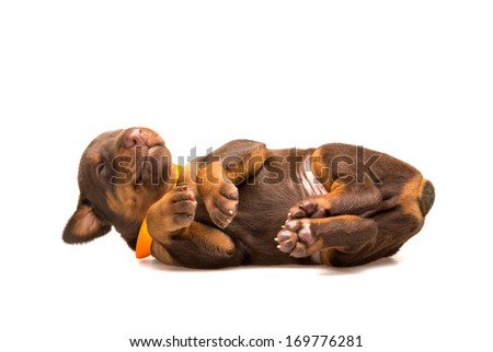 Funny puppy sleeping upside down isolated on white background - stock photo