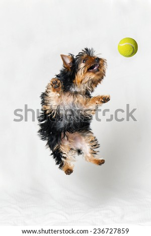 funny puppy yorkshire terrier , jump to the baseball ball and play - stock photo