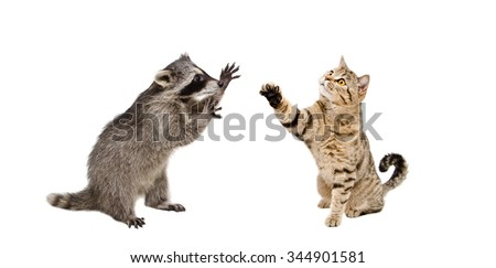 Funny  raccoon and  playing cat Scottish Straight isolated on white background - stock photo