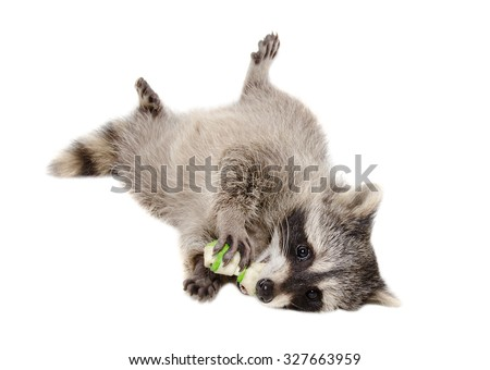 Funny raccoon chewing rawhide bone lying isolated on white background - stock photo