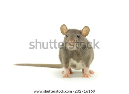funny rat   - stock photo