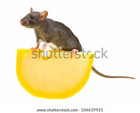 Funny rat and cheese isolated on white background