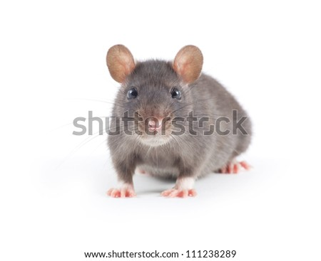 funny rat close-up isolated on white background - stock photo