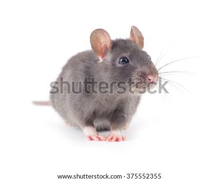 funny rat close-up isolated on white background - stock photo