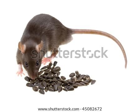 Funny rat eat sunflower seeds isolated on white background - stock photo