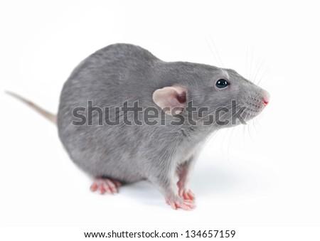 Funny rat on white background - stock photo