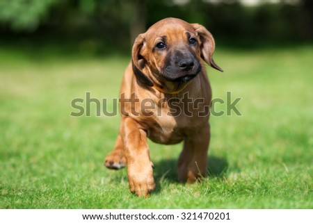 funny red puppy running on grass