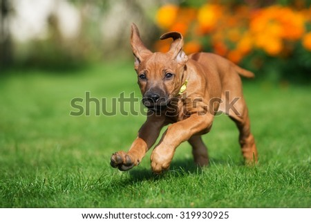 funny ridgeback puppy running outdoors - stock photo