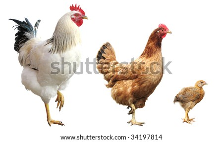 funny rooster, hen and chicken, isolated, standing on one leg - stock photo